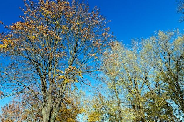 Пожелтевшие листья на кленовых деревьях в осенний сезон