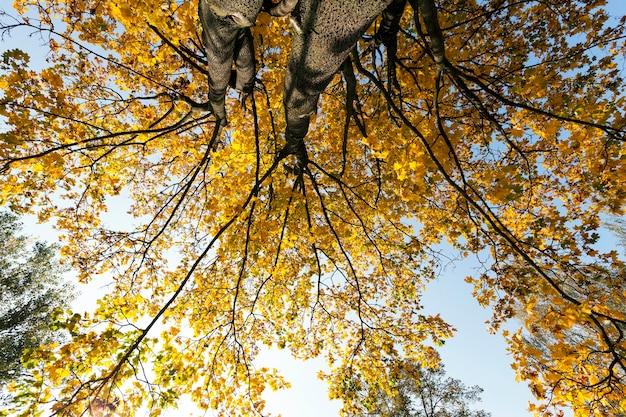 秋のカエデの木に黄ばんだ葉。
