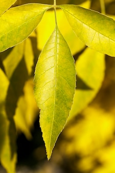 木の黄変の葉