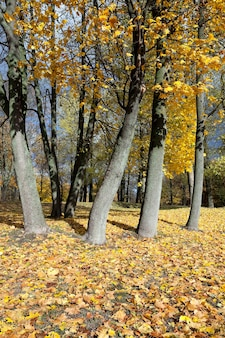 Yellowing leaves on the trees - yellowing leaves on the trees growing in the city park, autumn season, a small dof,