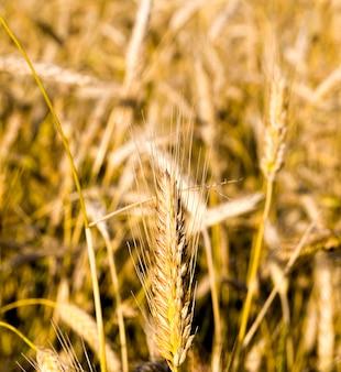 夏に黄ばむ小麦、ほぼ熟して収穫の準備ができている農産物の畑