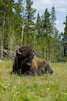 Yellowstone national park, bison along the firehole river at yellowstone.