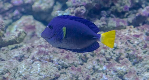 Yellowtail tang fish, (zebrasoma xanthurum)