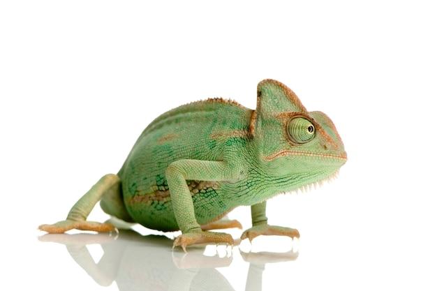 Yemen chameleon isolated