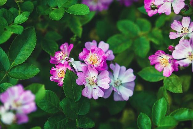 어제 하크 니스의 장미-작은 핑크, 램 블러 형 꽃