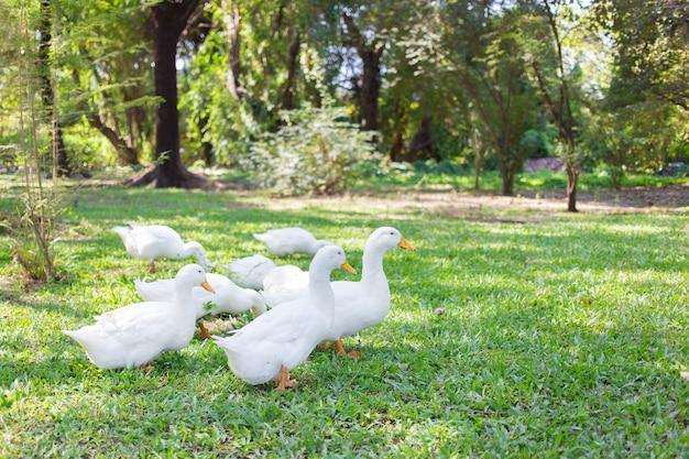 이량 오리는 흰색이고 노란색 오리너구리는 녹색 정원을 걷고 있습니다. 프리미엄 사진