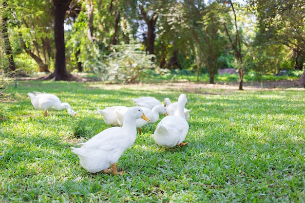 Утки и-лян имеют белый окрас, а в зеленом саду гуляют желтые утконосы.