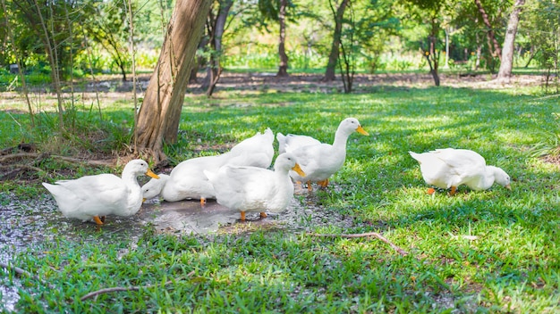 Yi-liang ducks have white color and yellow platypus are walking in the green garden.