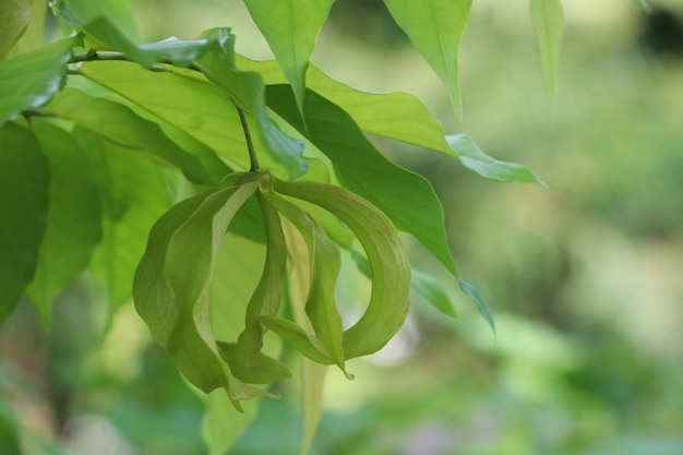 Ylan ylang flower natural perfume green color on tree background