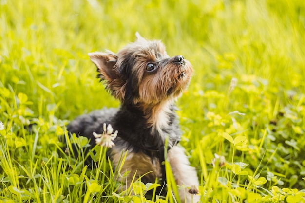 Yokshire terrier for a walk in the grass