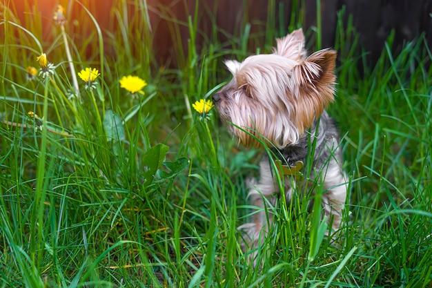 Йорк терьер нюхает желтый цветок
