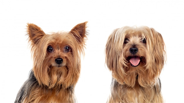Yorkshire dogs posing
