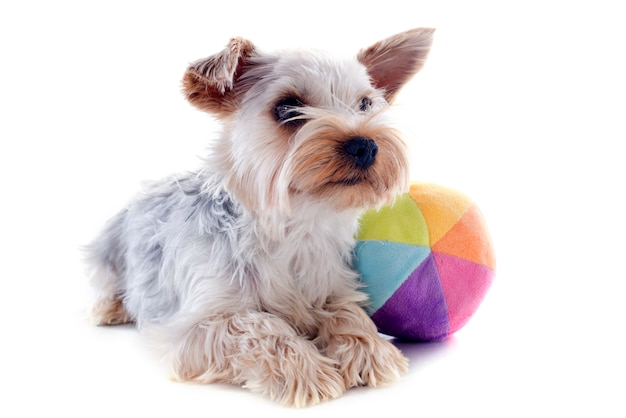 Yorkshire terrier and ball