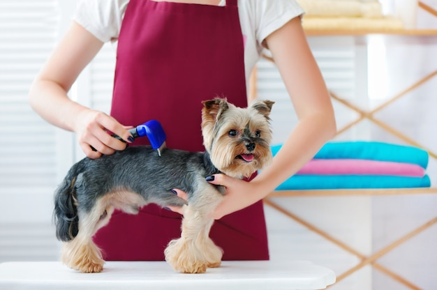 Yorkshire terrier dog at the hair reduction procedure