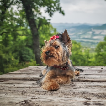 Yorkshire terrier dog poses outdoors