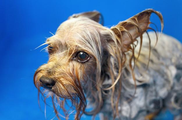 Собака йоркширского терьера недовольна тем, что купается, желая выбраться наружу
