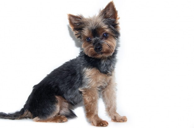 Yorkshire terrier dog on white.