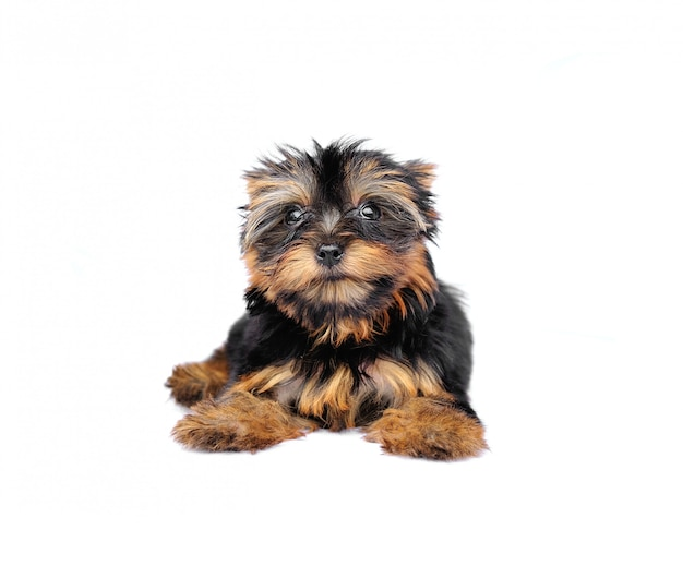 Yorkshire terrier in front of a white wall