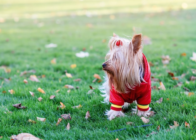 草の上に立っている赤いコートのヨークシャーテリア