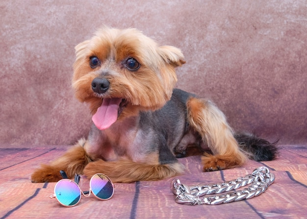 A yorkshire terrier is lying down next to the dog glasses and a chain