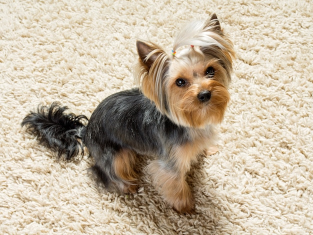 Yorkshire terrier is sitting  on the carpet