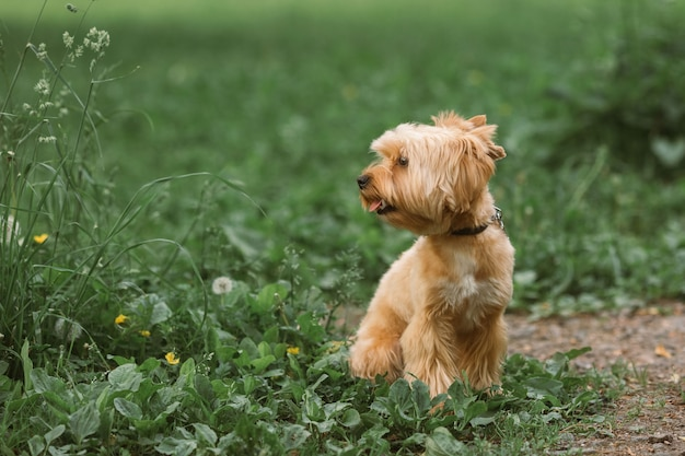 Yorkshire terrier is sitting on the grass.