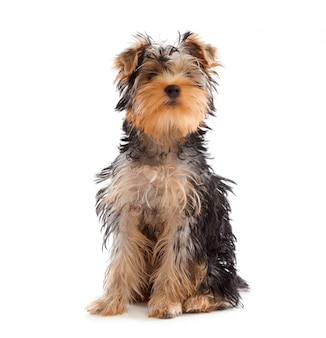 Yorkshire terrier looking at camera