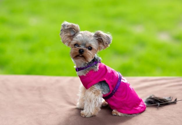 재미있는 이발을 한 요크셔 테리어 미니는 분홍색 옷을 입고 프레임을 들여다봅니다.