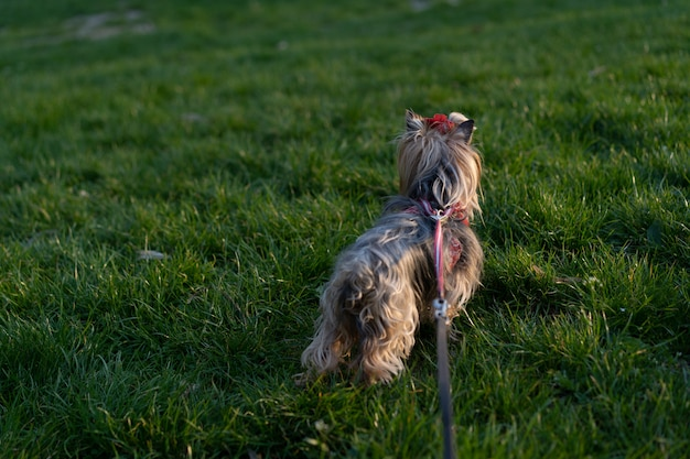 Йоркширский терьер на прогулке на поводке