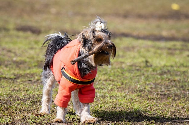 Yorkshire terrier in the park