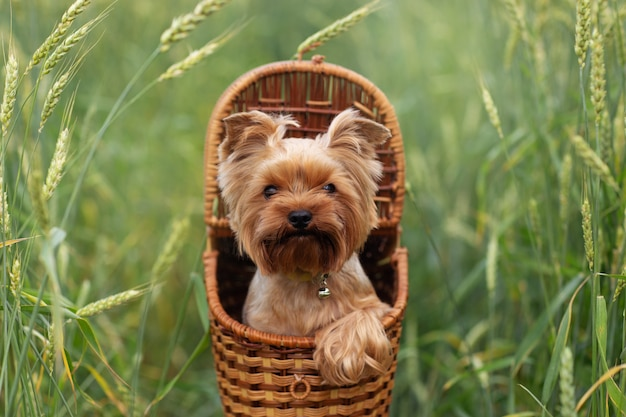 Yorkshire terrier puppy in basket green grass