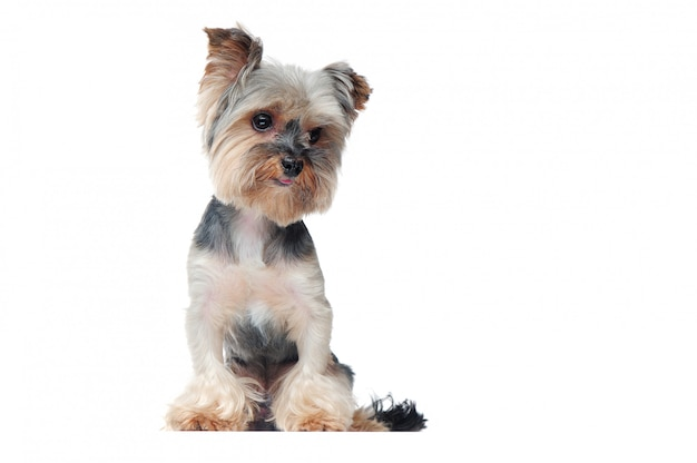 Yorkshire terrier puppy full length picture