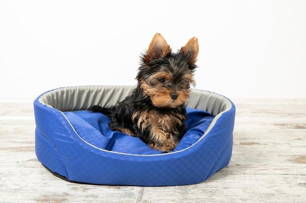 요크 셔 테리어 강아지 개 침대에 방에서 자 고. 동물.