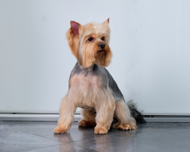 A yorkshire terrier sits on a tile floor in front of a door