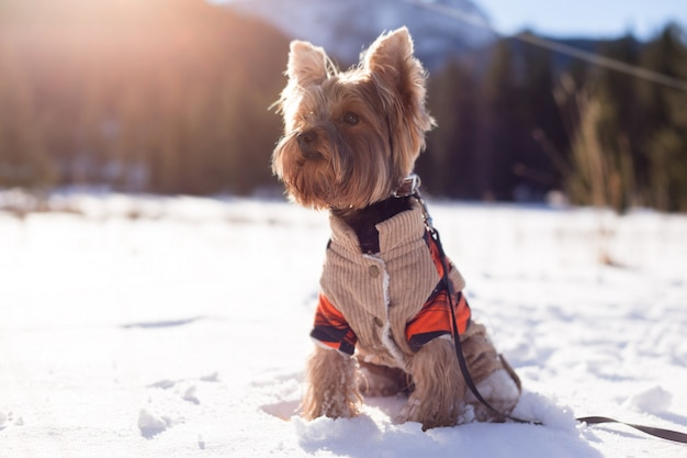 Yorkshire terrier sitting in the snow wearing overalls. dog yorkshire terrier walking in the snow. dog in winter.
