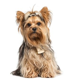 Yorkshire terrier sitting wearing bows isolated on white