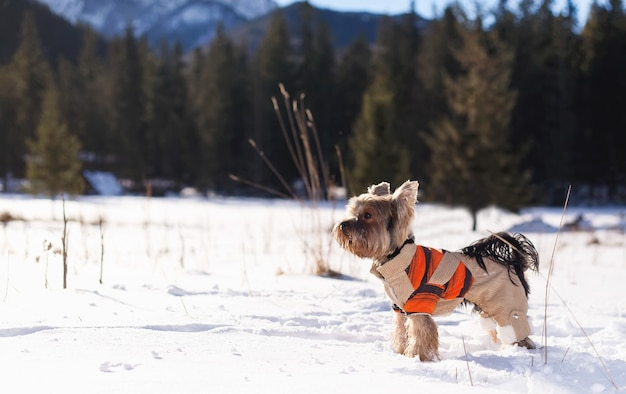 Yorkshire terrier in the snow wearing overalls