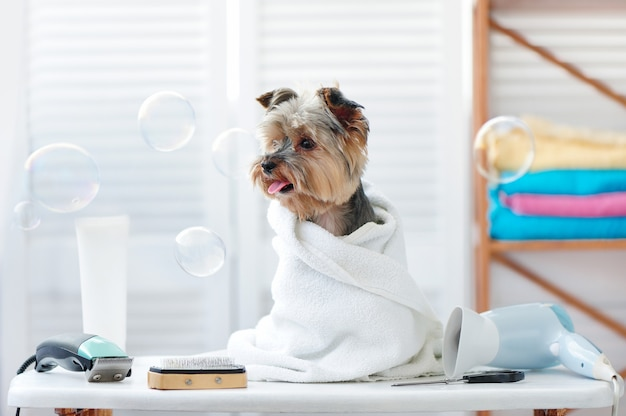 Yorkshire terrier in a towel looking to the flying soap bubbles