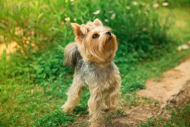 Yorkshire terrier on a walk on a path, against a background of greenery
