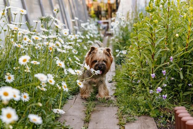 Йоркширский терьер гуляет среди цветов
