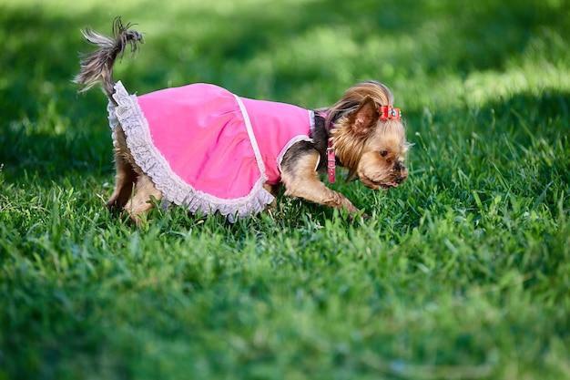 요크셔 테리어가 분홍색 옷을 입고 공원을 걷고 여름에 개가 풀밭에서 무언가를 찾고 있다