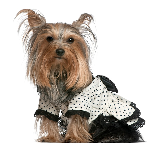 Yorkshire terrier wearing black and white polka dot dress, 3 years old, sitting