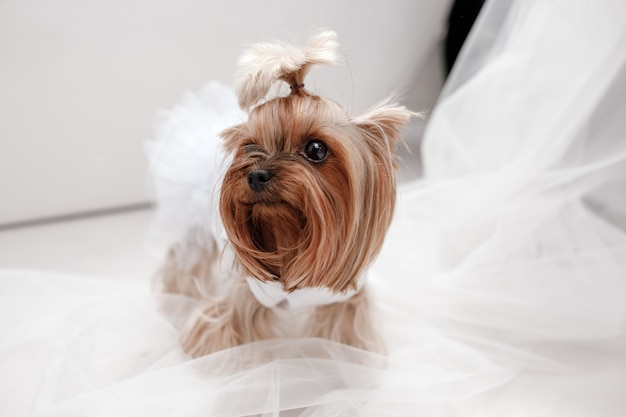 Yorkshire terrier in white dress. cute dog dressed up for wedding bride sitting on a white window
