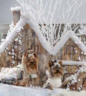 クリスマスの風景の前にヨークシャーテリア