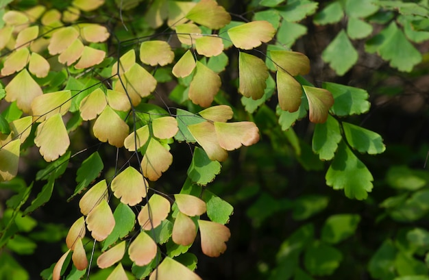Young adiantum, the maidenhair fern green leaves on shallow focus