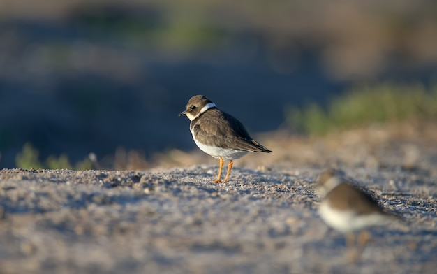 Young and adult common ringed plover or ringed plover (charadrius hiaticula) in winter plumage, close-up shot on the lake shore in soft morning light