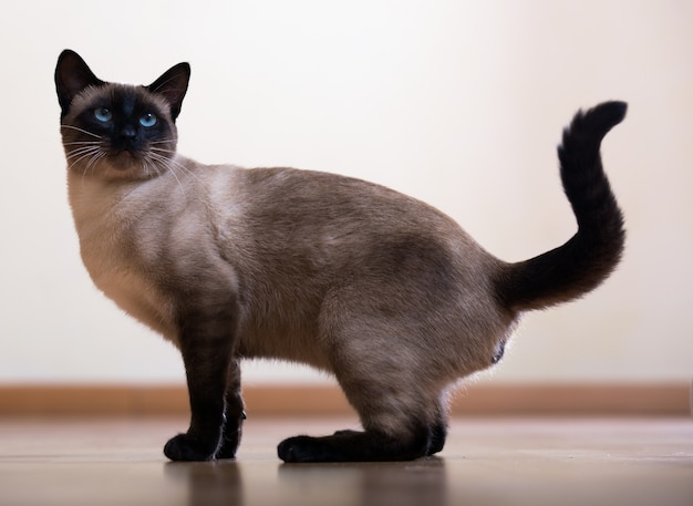 Young adult siamese cat