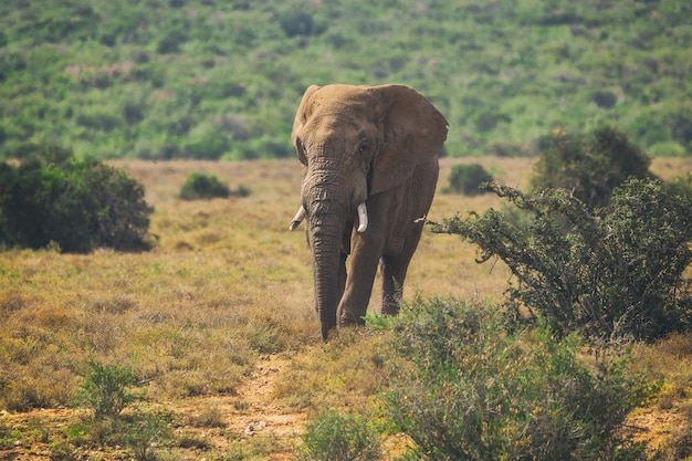 Young african elephant walking in bushes of addo national park, south africa