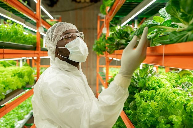Молодой африканский мужчина-агроинженер в защитной спецодежде смотрит на саженцы зеленого шпината и трогает лист, стоя в проходе у полки