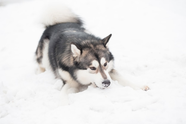 Young alaskan malamute playing in snow. snowy nose. dog winter.